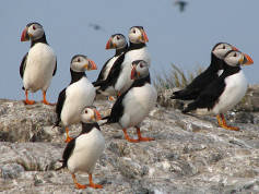 National trust puffins