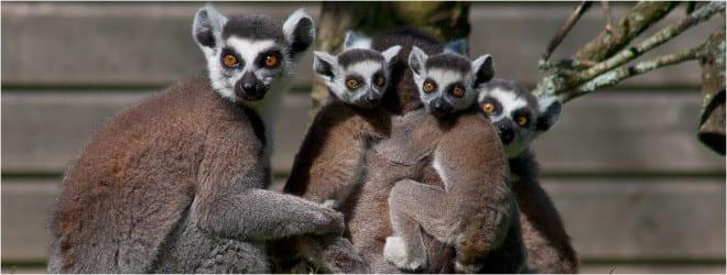 newquay zoo lemurs